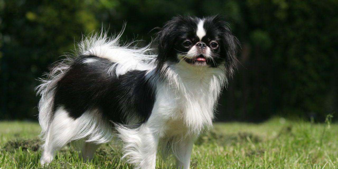 Huấn luyện chó lông xù